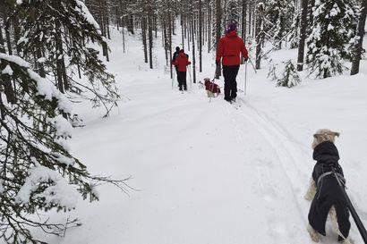 """Matkailuvaltti Taivalkoskelle – Koirallisille hiihtäjille latuja: """"Kokeilussa kaksi reittiä"""""""