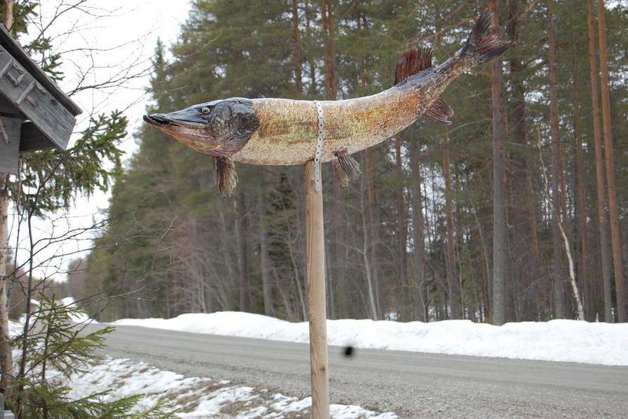 Kiantajärvestä noussut jättihauki päätyi kalamiehen, Eero Seppäsen, tienviitaksi.