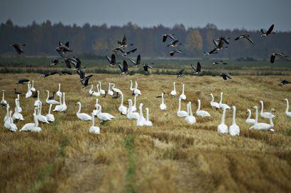 Katso kuvia Limingan peltojen valtavista lintuparvista