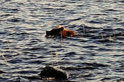"""Yllättävä mökkivieras ui rantaan kesken saunaillan Kuusamon Koskenkylässä – """"Oli niin kova aallokko, että hoksattiin karhu ihan siinä vasta rantatörmällä"""""""