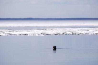 Itämerennorpan metsästys ei enää edellytä pyyntilupaa – Metsästys on sallittua ainoastaan Perämerellä