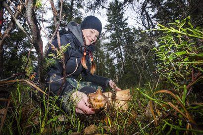 Lapin jännittävä sienisyksy jatkuu edelleen vahveroiden bongaamisella – Suvi Kopola on löytänyt jo saavikaupalla saalista