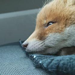 Pihla-kettu ja Aina-karhu hurmaavat persoonallisuudellaan – Pihla nauttii autokyydissä nukkumisesta, kun taas Aina saa leikeillään matot rullalle