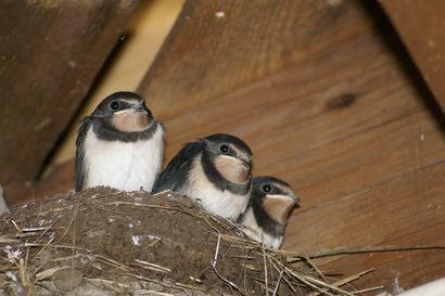 Linnustossa enemmän häviäjiä kuin voittajia - Meri-Lapista kadonneita lintulajeja jo murheellisen paljon