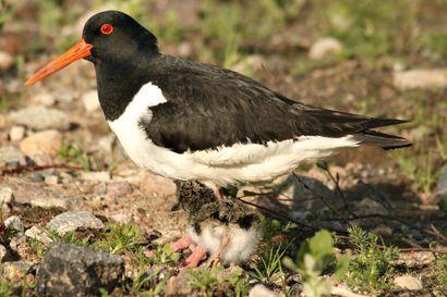 Luonnossa elämä on rajua taistelua ja lisääntyminen on hengissä pysymisen edellytys linnuille