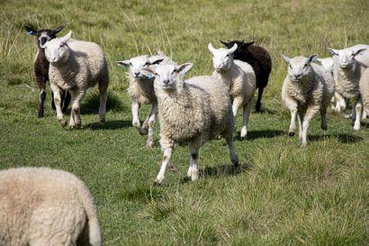 Syksy tuo kaikki kotiin – Kurikan lammastilalla katsotaan jo kohti kevättä