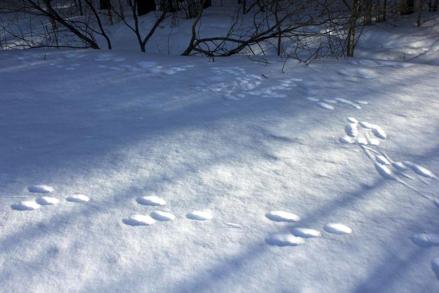 Metsäjänis on yksi lumijälkilaskentojen kohdelajeista. Arkistokuva.