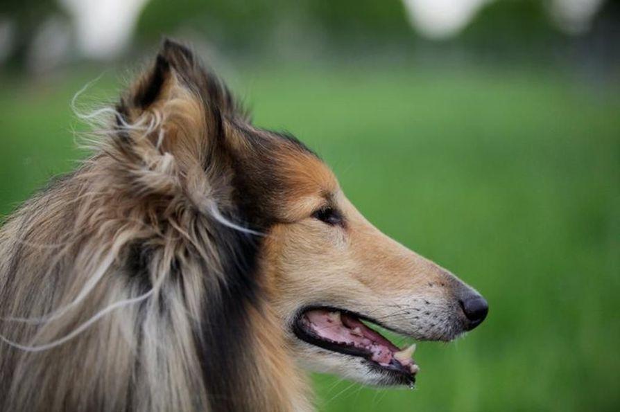 Tiedotteen mukaan tutkimuksesta ei selvinnyt, miksi ja missä elämänvaiheessa koira hankittiin suhteessa tyypin 2 diabeteksen ilmenemiseen.