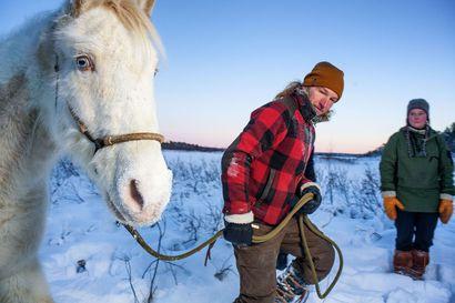 Villihevonen on elämää puhtaimmillaan – Suomen ainoa mustangilauma elää Inarissa