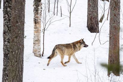 Pohjois-Pohjanmaalla vahva susikanta, jokilaakson alueella selviä laumareviirejä – koko Suomen alueella susilaumojen määrä kasvanut