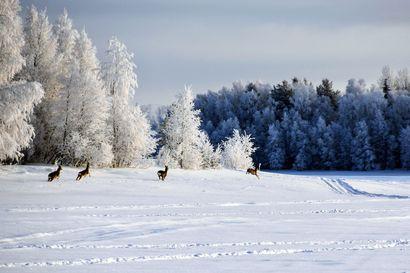 """Helmikuun paras sääkuva on runollinen: """"Kuvassa yhdistyvät kauniisti pysähtynyt helmikuinen talvimaisema ja kauriiden vauhdikkaat loikat"""""""