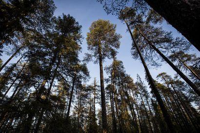 Yli sata vuotta sitten metsänhoitaja käveli tähän männikköön ja halusi säästää sen koskemattomana – Nyt tuntematon luontohelmi Rovaniemen luoteiskulmalla on Lapin vanhin suojelualue