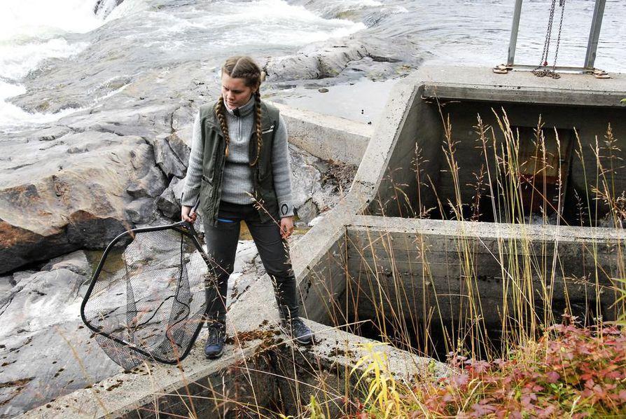 Kalastuksenvalvoja Hanna Sönvisen pyydystää haavilla kyttyrälohia Kolttakönkään kalaportaista. Tällä kertaa kyttyrälohia ei löytynyt.