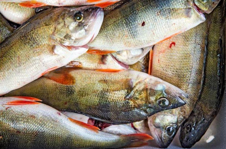 Ahventa kalastettiin Suomen merialueilla viime vuonna 600 000 kiloa.