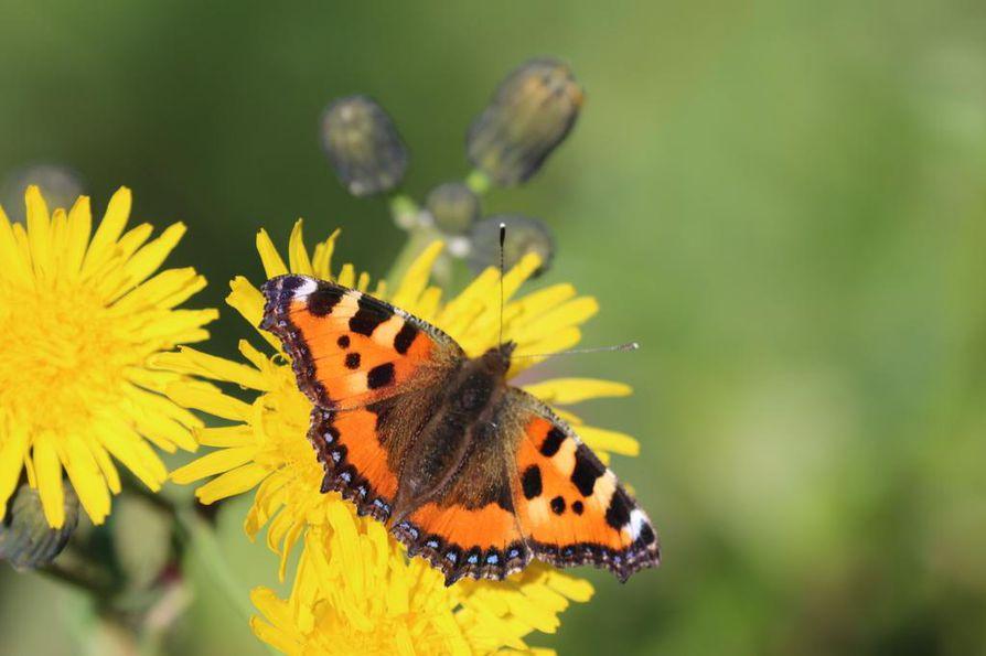 Nokkosperhonen on yleinen päiväperhonen koko Suomessa aina pohjoisinta Lappia myöten.