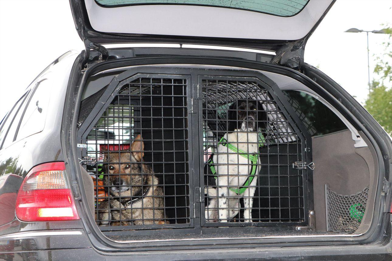 Koira häkkiin tai vöihin – 20-kiloinen koira muuttuu kolaritilanteessa hirven painoiseksi
