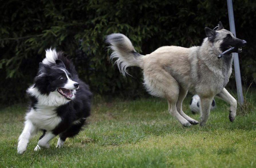 Likka ja Tiuhti leikkivät kotonaan Oulunsalossa. Harrastuspiireissä harva käyttää koiriaan koirapuistoissa-