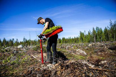 Koronavirus ja myöhäinen kevät siirsivät osan metsänistutustöistä syksylle – Kesätyöntekijät istuttavat nyt Etelä-Lapin alueelle 400 000 tainta