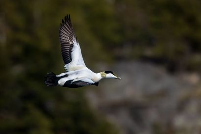 """EU-tuomioistuin: Suomi rikkoo lintudirektiiviä haahkanmetsästyksessä – """"Pesimäaikainen metsästys olisi pitänyt lopettaa jo vuosikymmeniä sitten"""""""