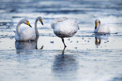 Kivellä istunut joutsen aiheutti hälytyksen Torniossa – ilmoittaja epäili linnun jäätyneen kiinni rantakiviin