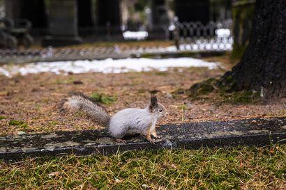 Intiön hautausmaan kesyistä oravista tehty valituksia ja eläimet ovat aiheuttaneet osassa jopa pelkoa –kysyimme, onko oravia hautausmaalla ongelmaksi asti