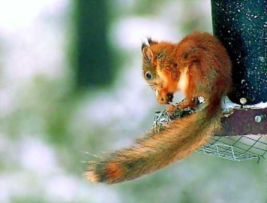 Herttainen hyväkäs. Oravaa on käytännössä mahdotonta karkottaa pesältään.