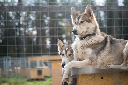 """Huskysafareista todellinen pula Kuusamossa -Safareita järjestetään alihankintanakin: """"Puhutaan noin 120 huskykoiran lisäkapasiteetin tarpeesta"""""""