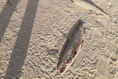 Mistä lohet tulivat rantaan? – Haaparannan kansallispuiston Torne-Furön hiekalta löytyi täysikokoisia lohia
