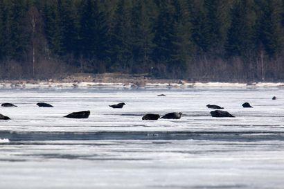 Surkea jäätalvi voi ajaa norppalaumat taas Perämeren rantaan – niitä on havaittu jo paljon kiintojään reunassa