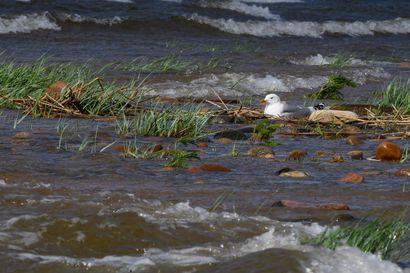 Lintujen pesintää autetaan Oulujärvellä ja Kalajoen edustalla – voimistuneet kesämyrskyt ovat pesinnälle tuhoisia