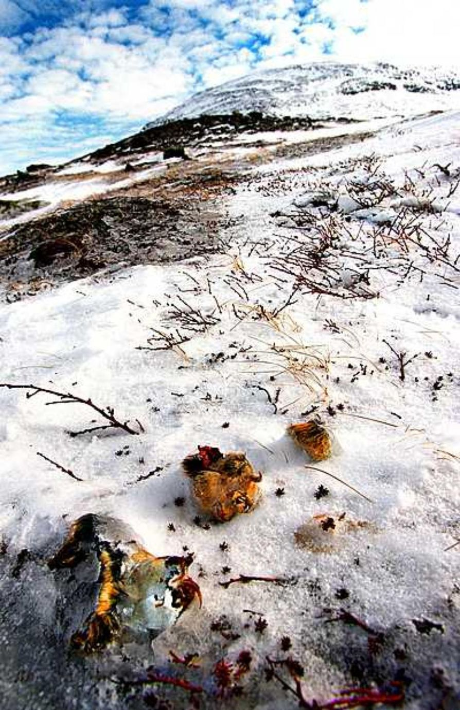 Talvella monen tunturisopulin elämä päättyy pedon kynsiin.