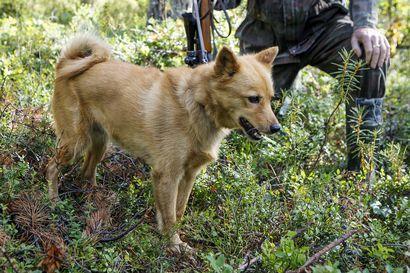 Metsästyskoira voi juosta rajavyöhykkeeltä Venäjälle ja kadota – rajavartiosto muistuttaa metsästyksen pelisäännöistä itärajan tuntumassa