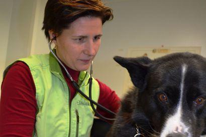 """""""Alakerta oli kuin uima-allas"""" – Kuusamon eläinlääkäri muuttaa massiivisten kosteusvaurioiden takia"""