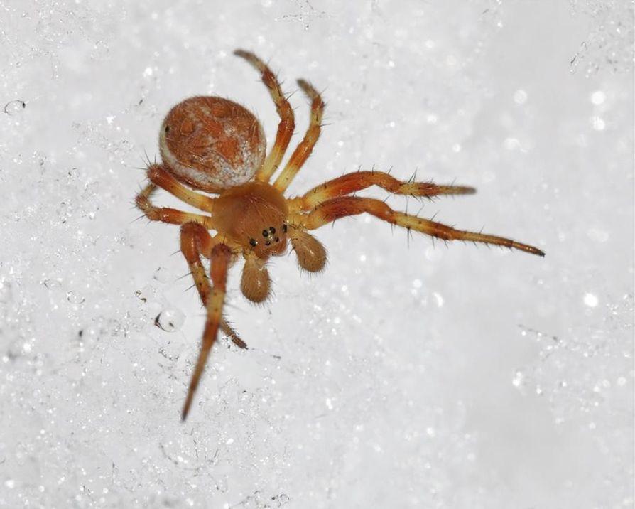 Lukijan lähettämässä kuvassa on Marko Mutasen mukaan ristihämähäkkilajin edustaja.  - Näiden liikkuminen hangella on vähemmän tavallista, eikä tuo varmaan mielellään hangella kulje.
