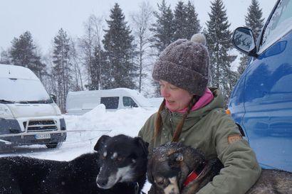 Synttäriajelu 19-vuotiaana vie jalat alta: Mari ihastui huskyihin ja nyt hänellä on niitä 12 ja koira-alan yritys