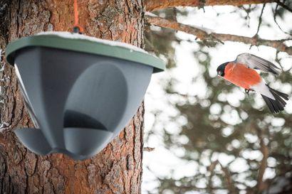 """Kata joulupöytä myös linnuille – ruokien valinnalla voit vaikuttaa siihen, mitä siivekkäitä pihallasi pyörii: """"Jos haluaa enemmän lajikirjoa, kannattaa pitää tarjolla erilaisia jyviä"""""""