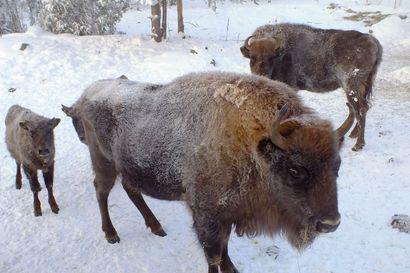 """""""Aika usein joutuukin hoitamaan pakkasjaksojen jälkeen paleltumia"""" – Pakkasilla eläimet tarvitsevat suojaa ja lämmintä vettä, oli kyse koirasta, hevosesta tai karjasta"""