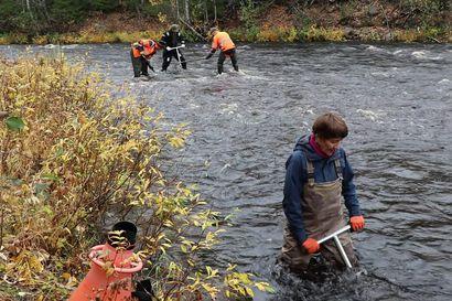 Vaelluskaloille kunnostettiin kutupaikkoja Iijoen vesistössä ruotsalaisella Hartijoki-menetelmällä