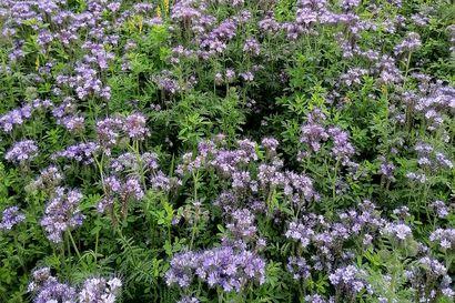 Violetti maisemapelto ilahduttaa: hunajakukka torjuu omalta osaltaan ilmastonmuutosta ja tuo viljelijälle tukirahaa
