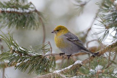 Joko bongasit taviokuurnan? –Lintujen kevätmuutto alkoi lauhasta talvesta huolimatta normaalissa aikataulussa Koillismaalla