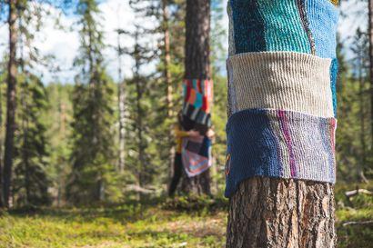 Suuret männyt kiedottiin neulehuiveihin Sallan Poropuistossa – Halipuumetsässä puita saa halata luvan kanssa