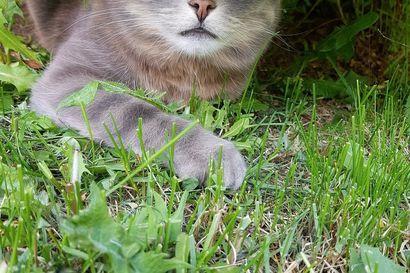 Pekka Mäkelän kissoilla Elmalla, Niilolla ja Liisalla on Instagramissa jo lähes 22000 seuraajaa – somepäiväkirja päivittyy päivittäin