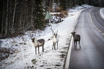 Useat pelti- ja porokolarit sekä tieltä suistumiset ovat työllistäneet Rovaniemen poliisia – poliisi muistuttaa huolellisuudesta ja varovaisuudesta liikenteessä