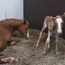 Katso vastasyntyneen varsan ensiaskeleet