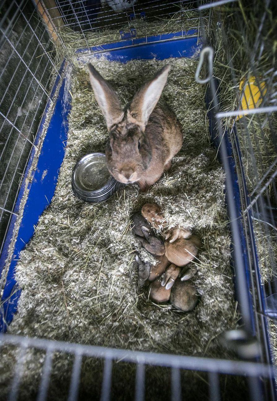 Kaninlihan tuottajat eivät saa maataloustukia, koska kania ei vielä tunnisteta tuotantoeläimeksi. Nautoihin verrattuna kanit kuitenkin kasvavat vauhdikkaammin, ja sama kilomäärä lihaa saavutetaan nopeammin. Ne kuormittavat myös vähemmän ympäristöä kuin perinteinen lihakarja.
