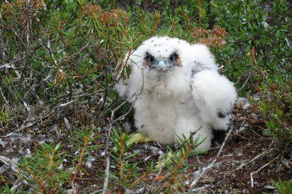 Rukalla ja Oulangan kansallispuistossa säädetään uusia liikkumisrajoituksia uhanalaisen muuttohaukan pesimärauhan takaamiseksi