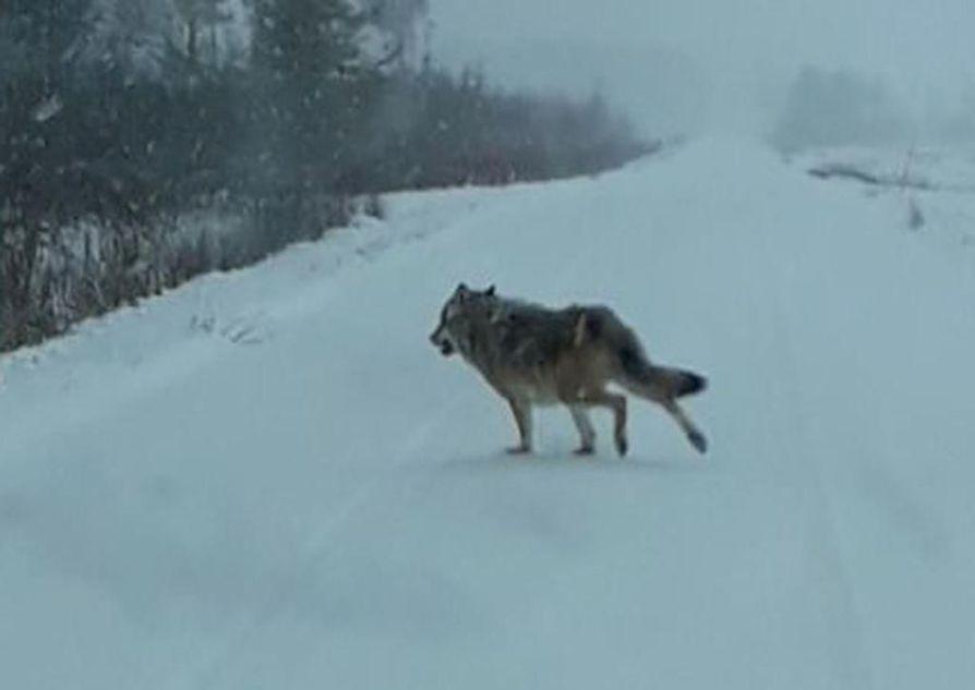 Tietä ylittävä susi kuvattiin toissa sunnuntaina puoliltapäivin Rantsilassa Jylhänrannantiellä. Tiedossa ei ole, onko kyseessä sama yksilö, jonka koiraa ulkoiluttanut nainen oli havainnut.