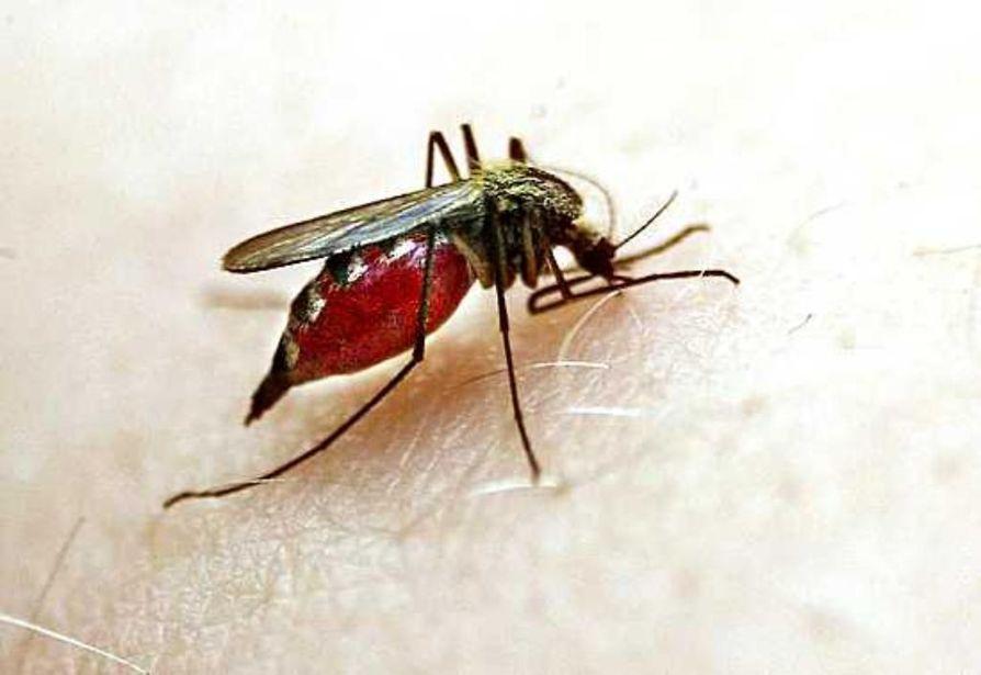 Lämpöä riittää tänä keväänä, mutta kuivuus saattaa käydä hyttysten kohtaloksi .