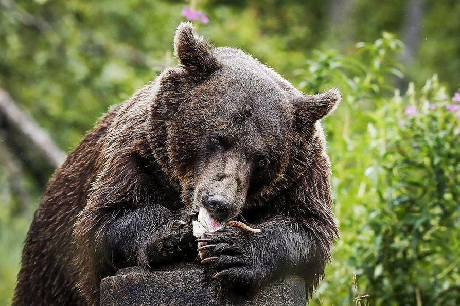 Eero Seppänen on oppinut karhuista yhtä jos toista vietettyään katselukopissa yli 5000 tuntia. Kuten sen, että noin joka kolmas karhu kaivaa ruuan vasemmalla käpälällään.