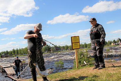Kukkolan lippomiehille 300 lohta –Punalihaista kalaa saatiin kilokaupalla myös kulkuverkolla